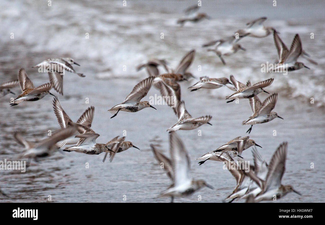 A flight of Dunlin Calidris alpina at Dawlish Warren on the Exe estuary in South Devon UK - Stock Image