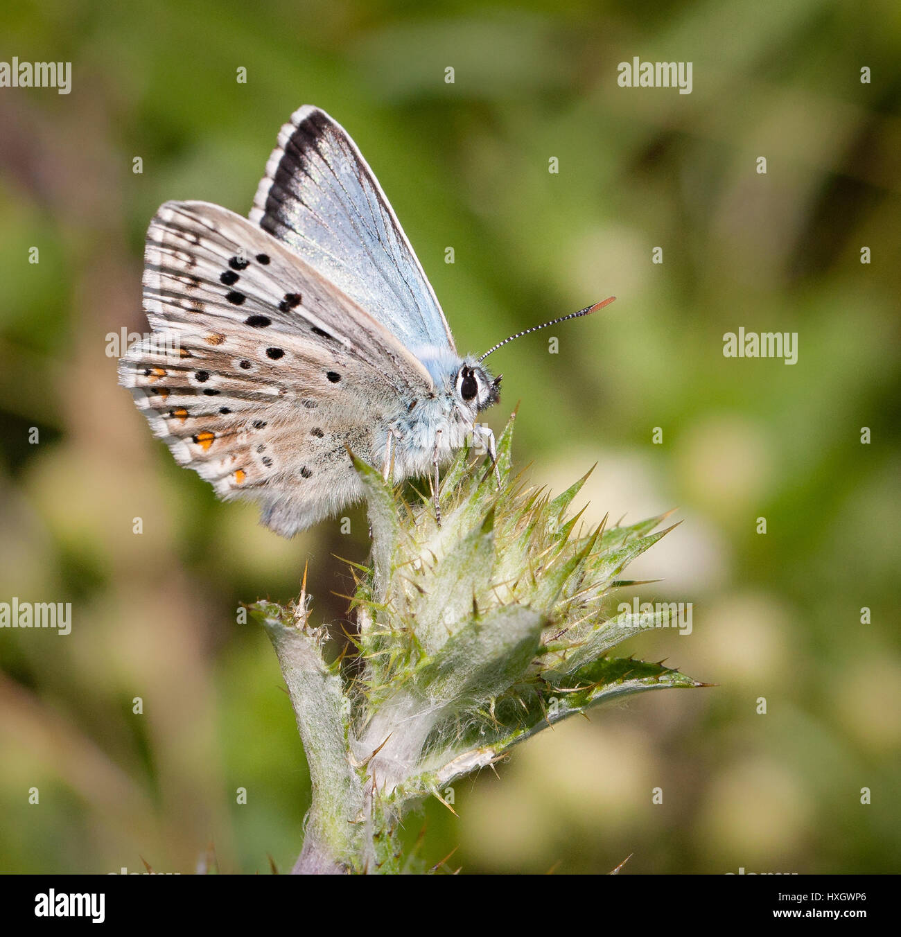 Male chalkhill blue butterfly Polyommatus ( Lysandra coridon ) on thistle bud at Portland Bill in Dorset - Stock Image