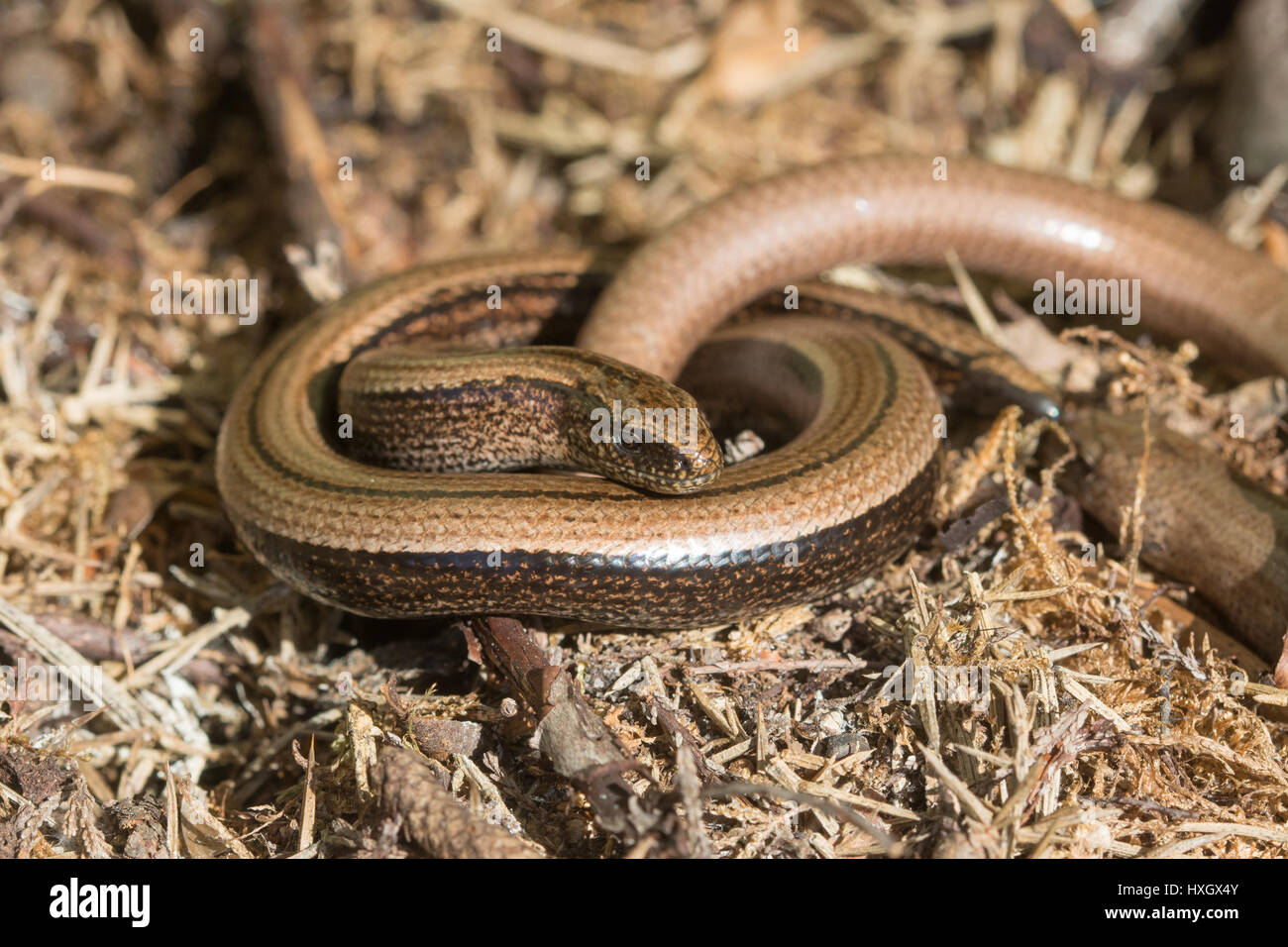 Male and female slow worms (Anguis fragilis) in Surrey, UK Stock Photo