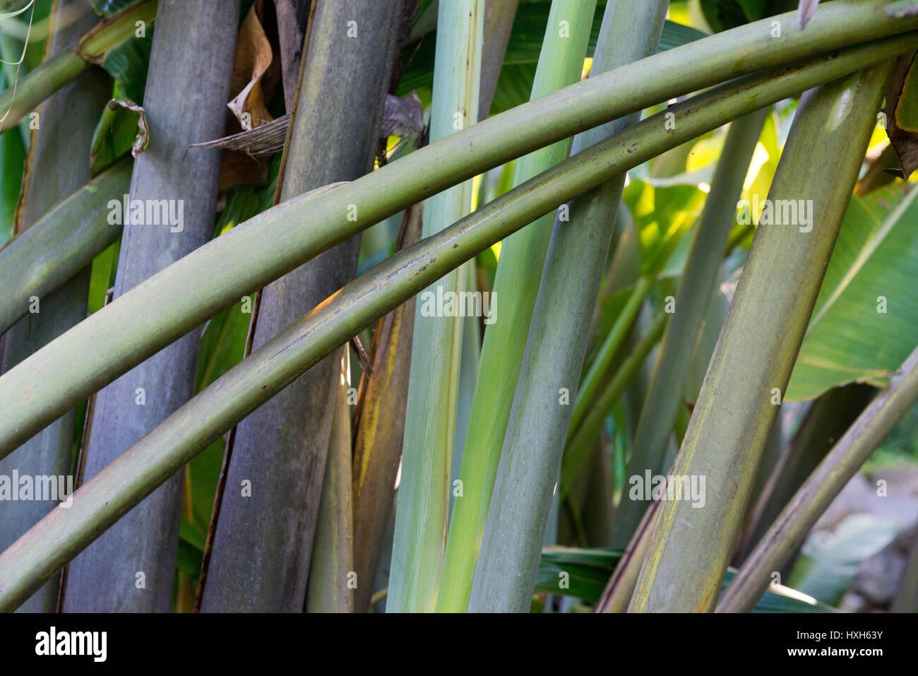 Baum der Reisenden, Mahé, Seychellen - Stock Image