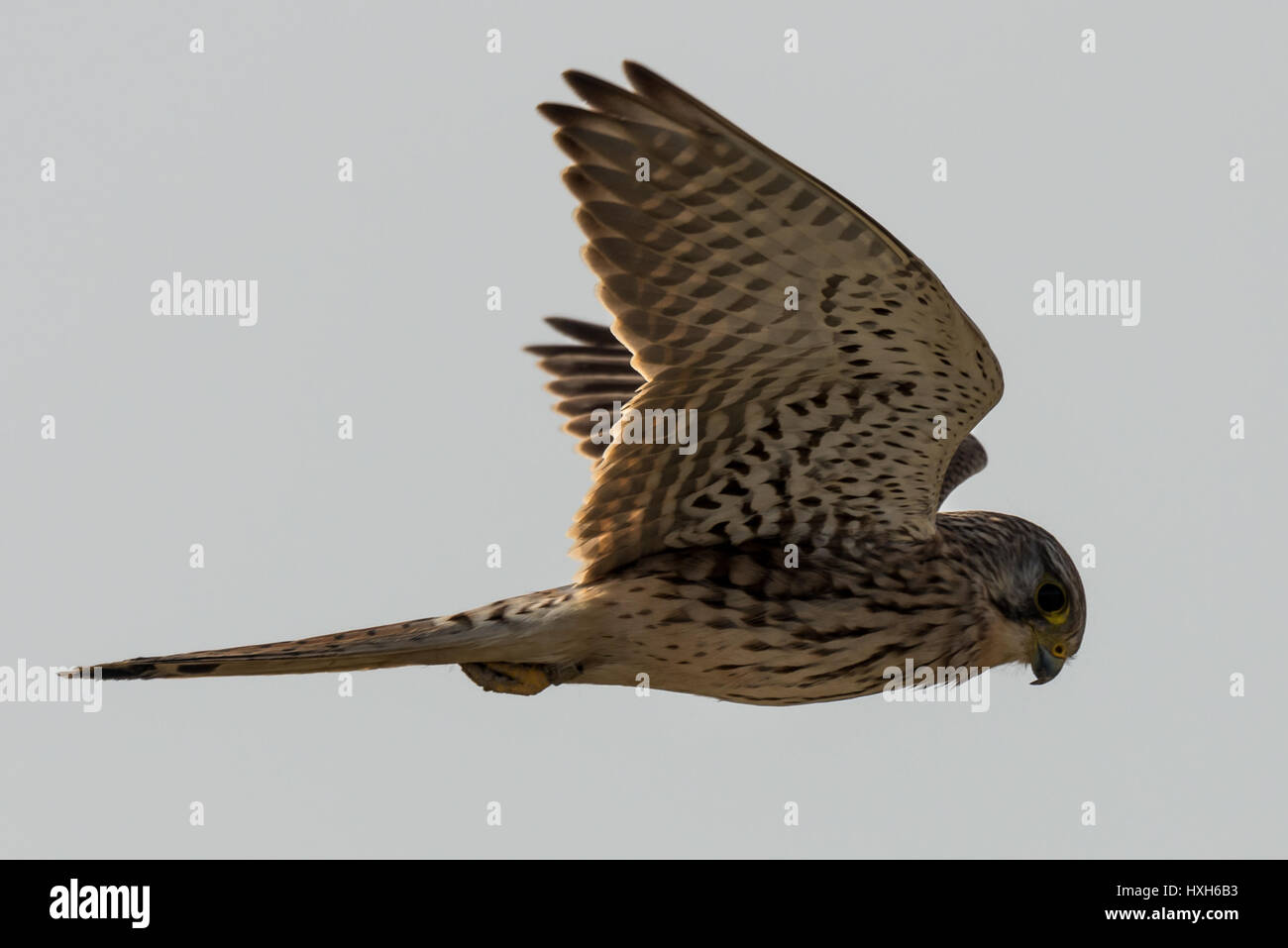 flying Common kestrel Looking for loot Falco tinnunculus Stock Photo