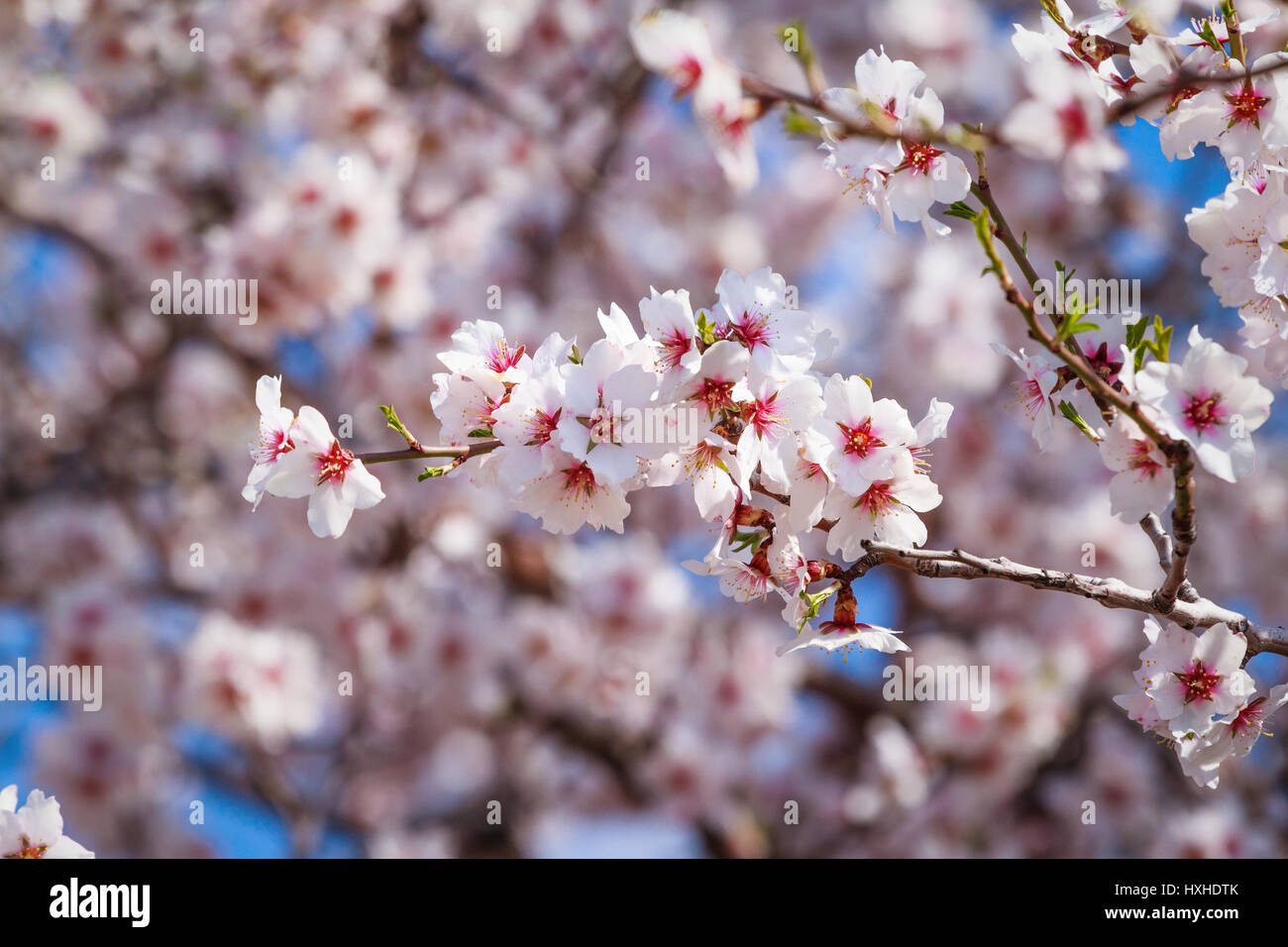 Cluster of pink flowers of apricot tree against the blue sky stock cluster of pink flowers of apricot tree against the blue sky mightylinksfo
