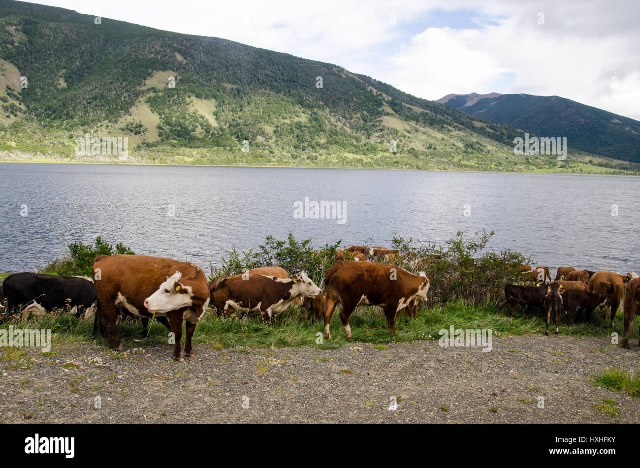 Cows grazing and relaxing. Puerto Puyuhuapi - Patagonia - Chile - Stock Image