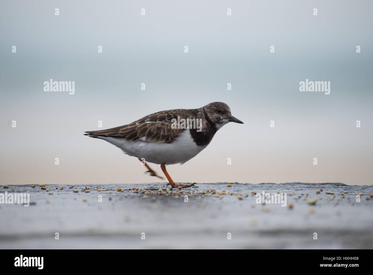 Turnstone in St Ives - Stock Image