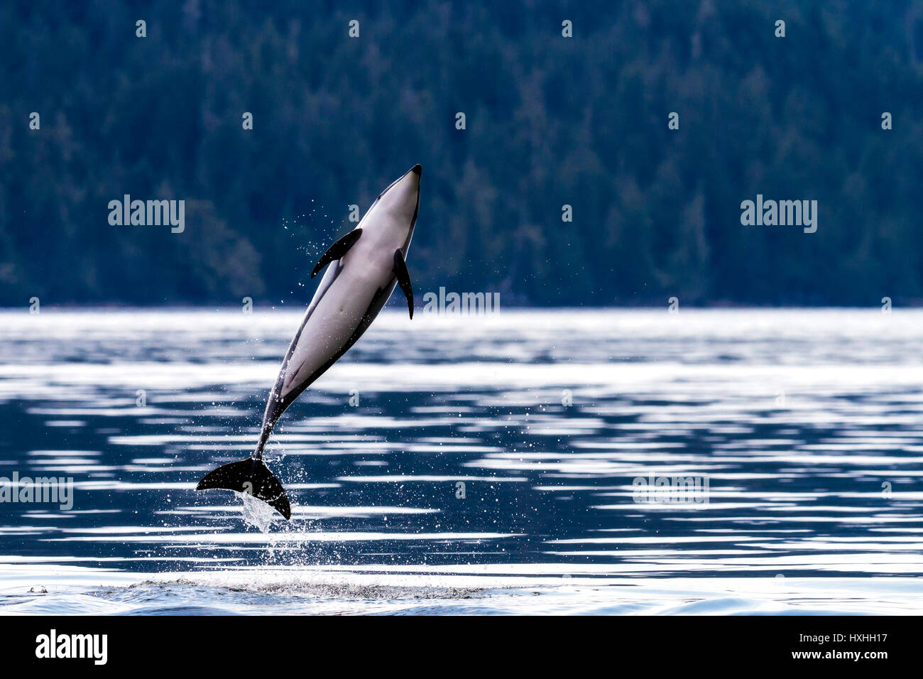 Pacific White Sided Dolphin, Lagenorhynchus obliquidens jumping in Broughton Archipelago Provincial park, British - Stock Image