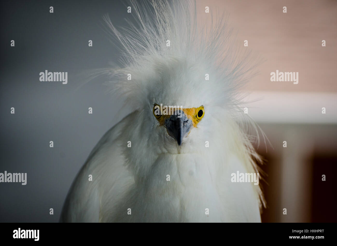 Closeup portrait of Snowy Egret (Egretta thula) near Englewood, Florida, USA. - Stock Image