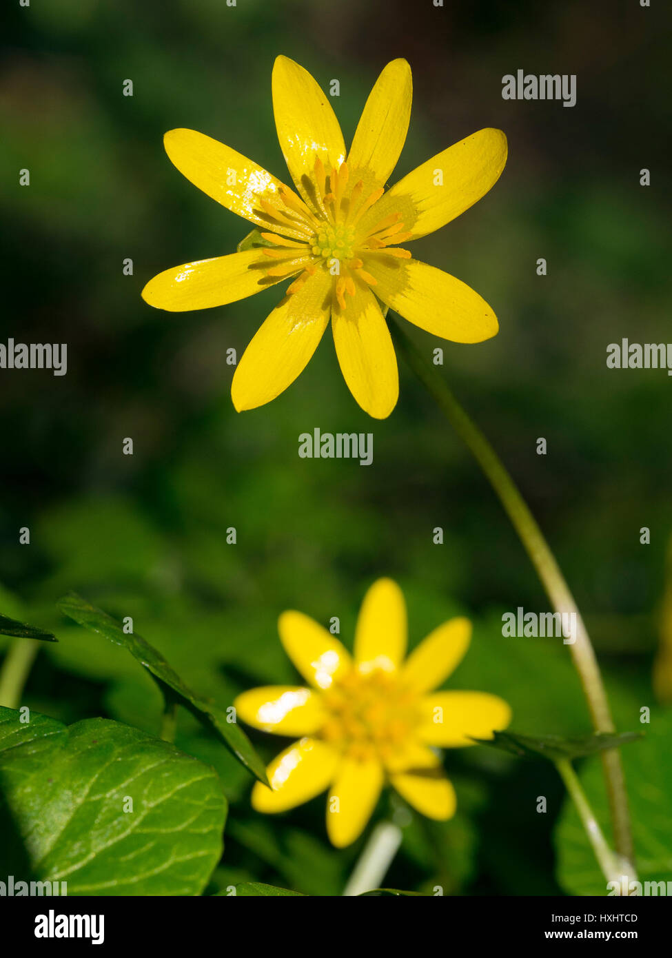 Ficaria verna in flower at the beginning of the printemp. Stock Photo