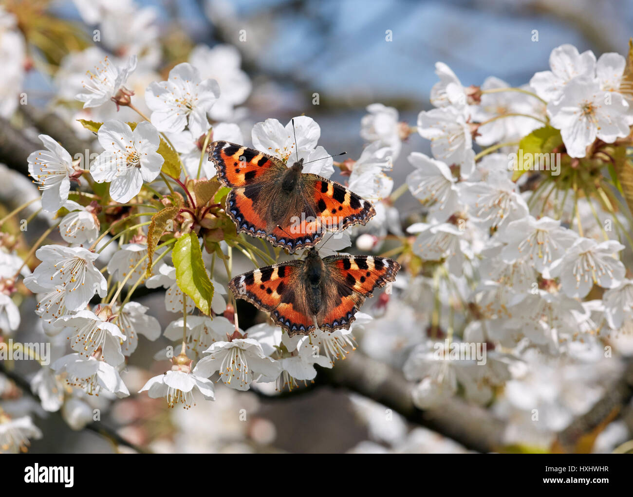 Pair of courting Small Tortoiseshell butterflies on Cherry flowers. Hurst Meadows, East Molesey, Surrey, UK. - Stock Image