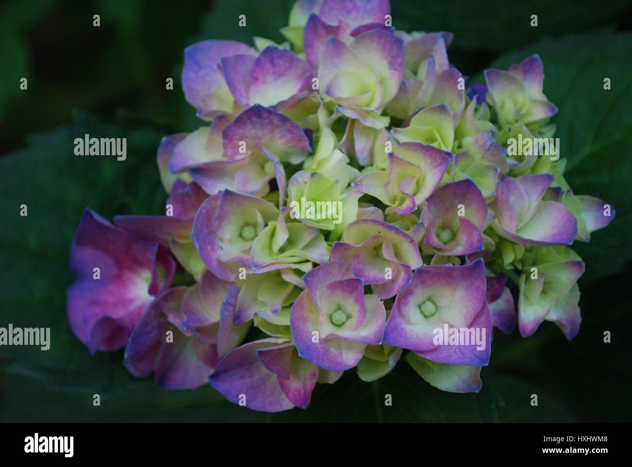Budding And Blooming White And Purple Flowering Hydrangea Bush Stock