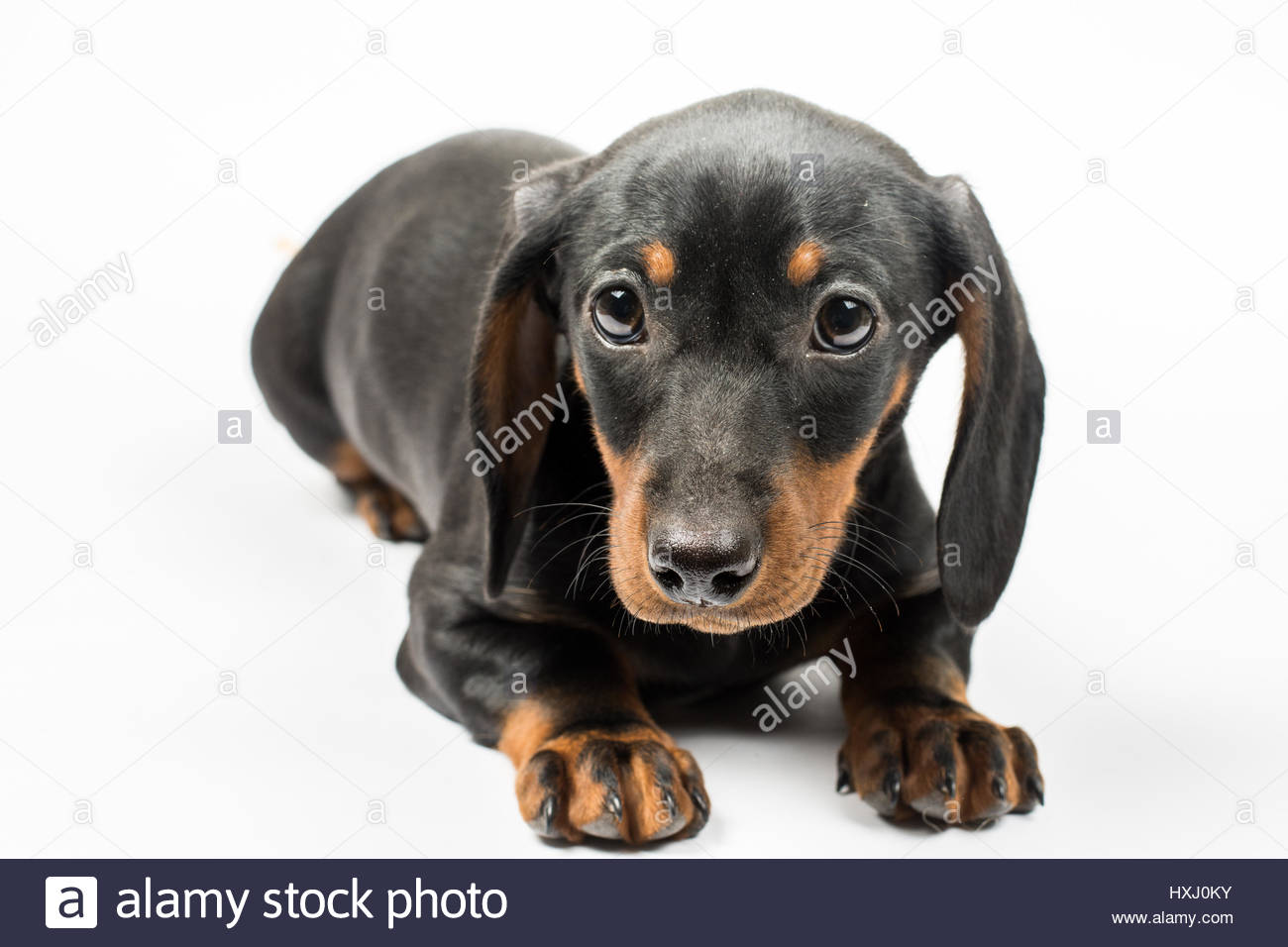 Portrait of black puppy dachshund with sad look over white
