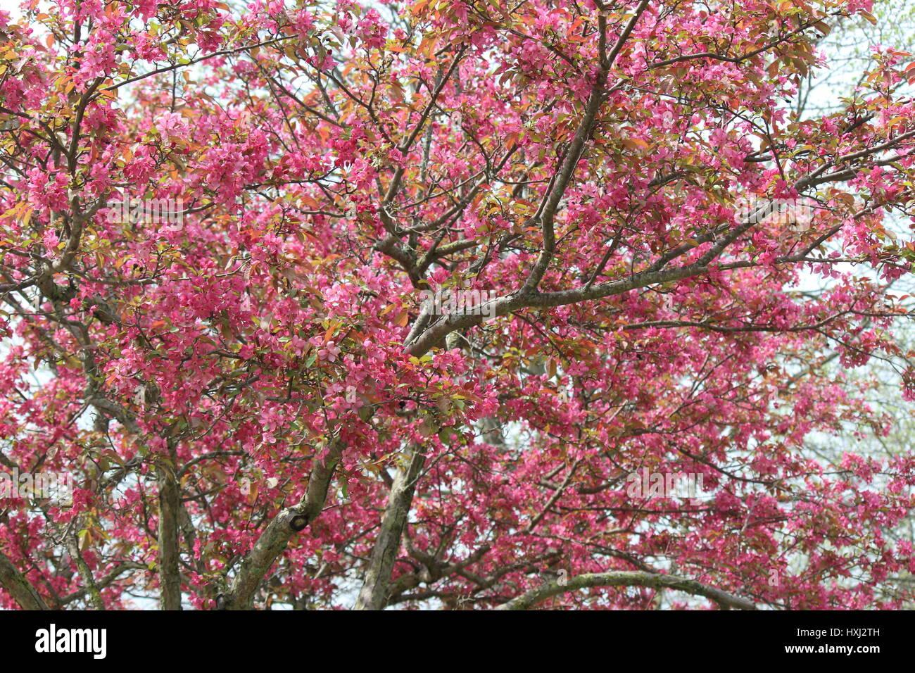 Bright pink flowering crabapple tree in spring stock photo bright pink flowering crabapple tree in spring mightylinksfo