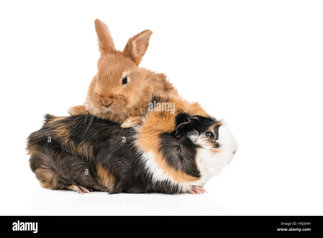Beautiful redheaded rabbit climbed a multicolored guinea pig isolated on a white background - Stock Image