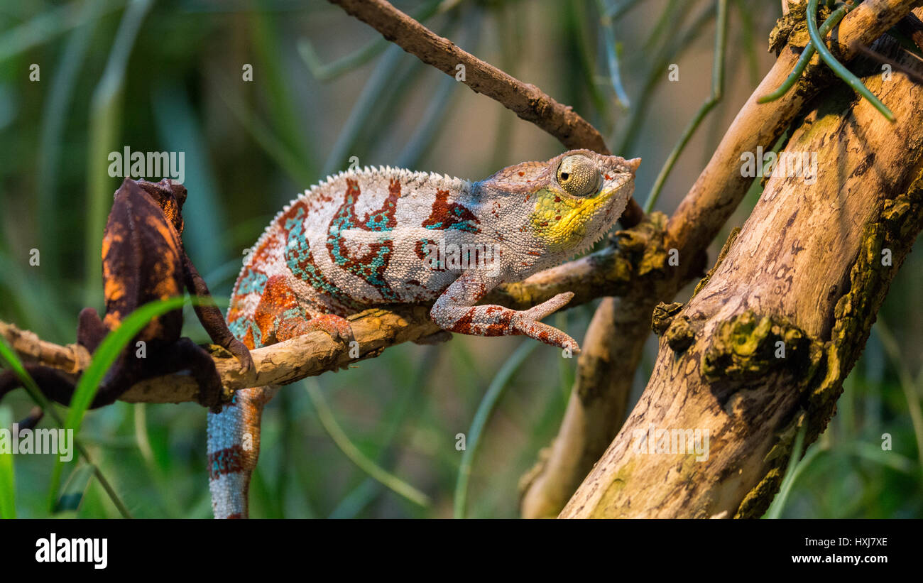 chamelion resting on a twig Stock Photo