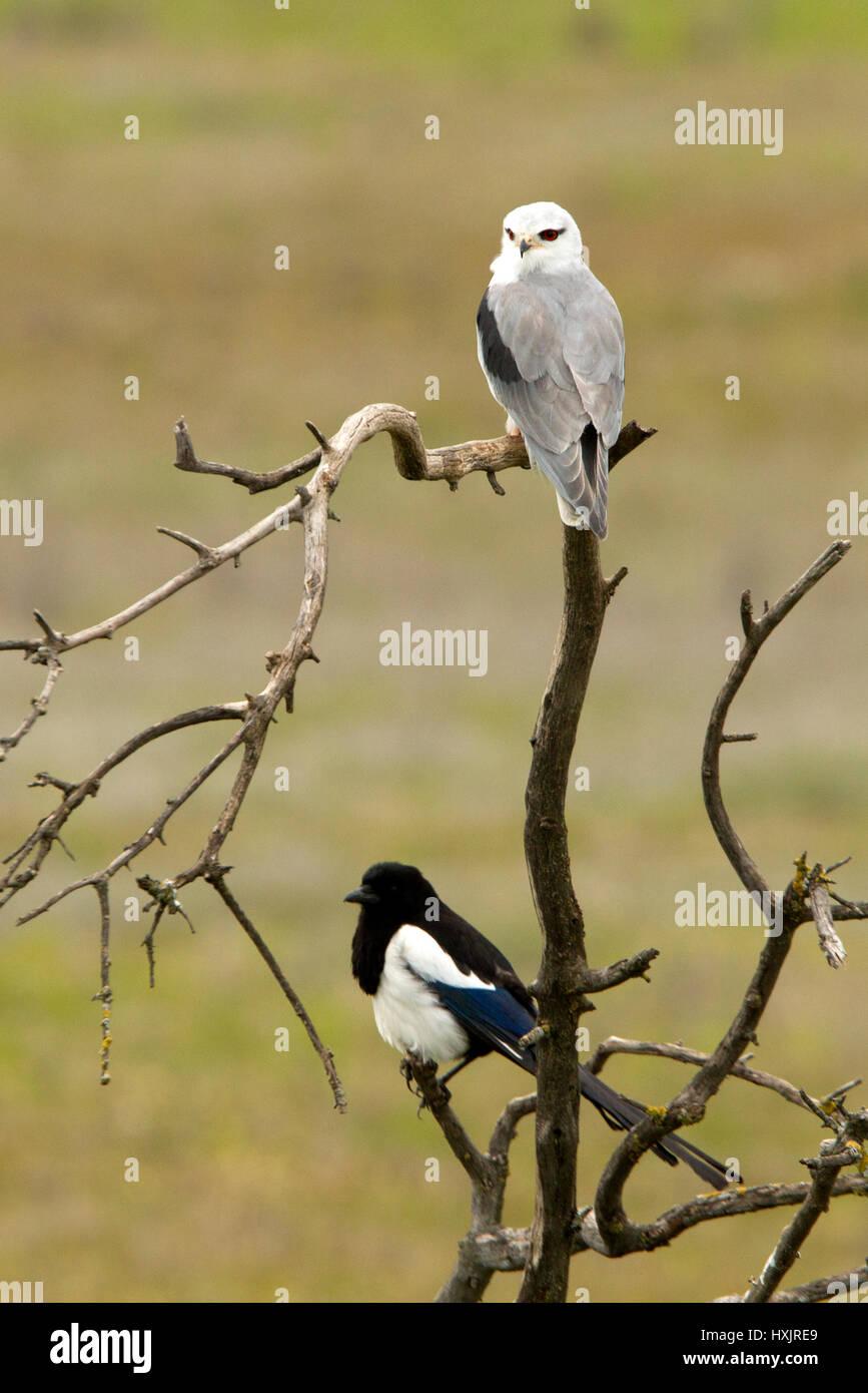 Elanus caeruleus. - Stock Image