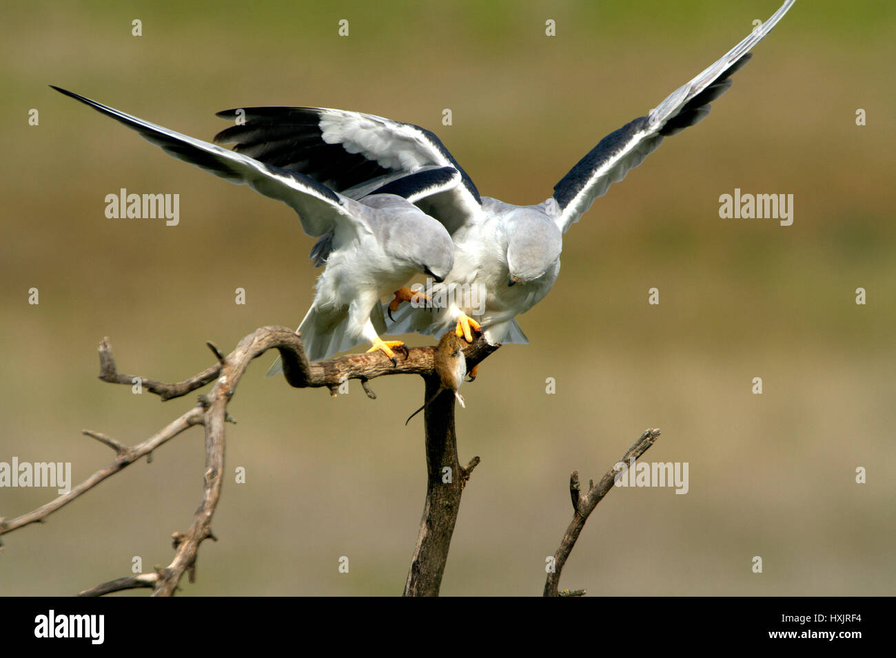 Elanus caeruleus - Stock Image