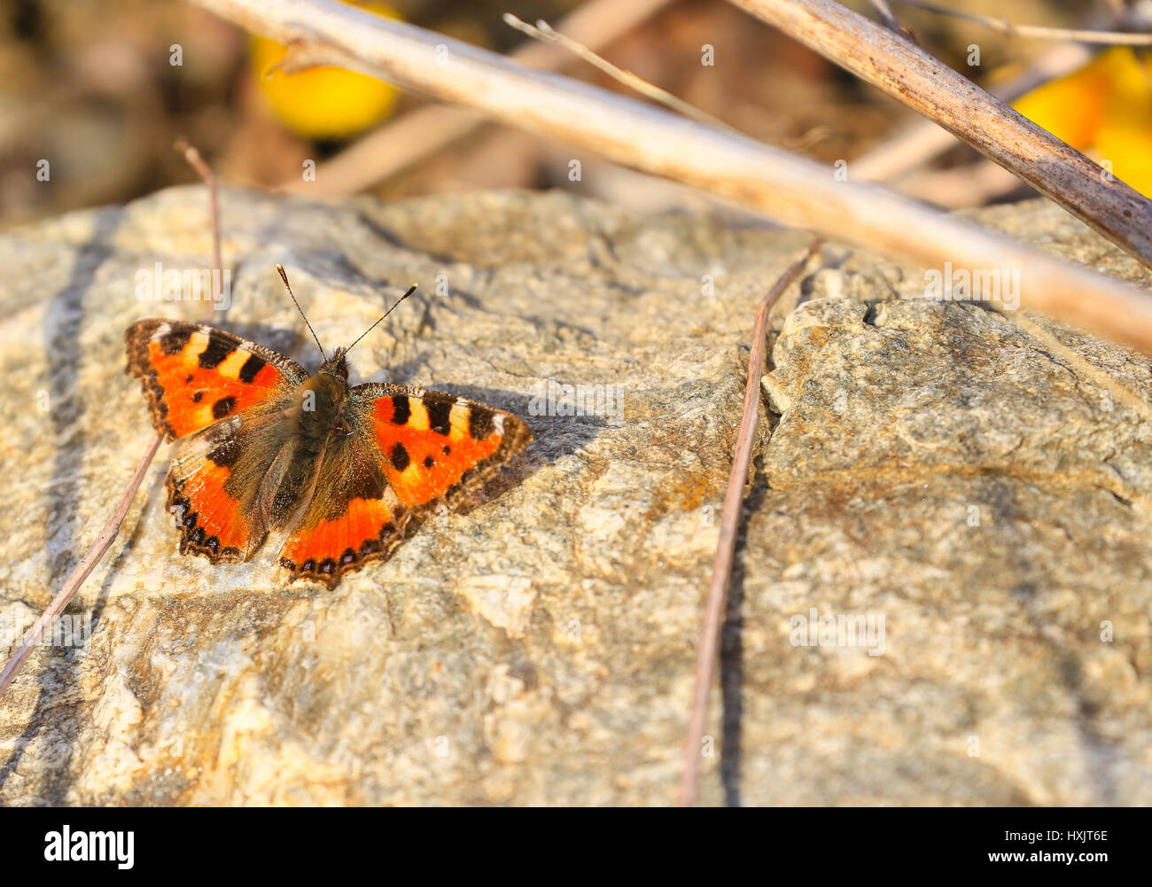 Smart Tortoiseshell relaxing on a stone in the sun. - Stock Image