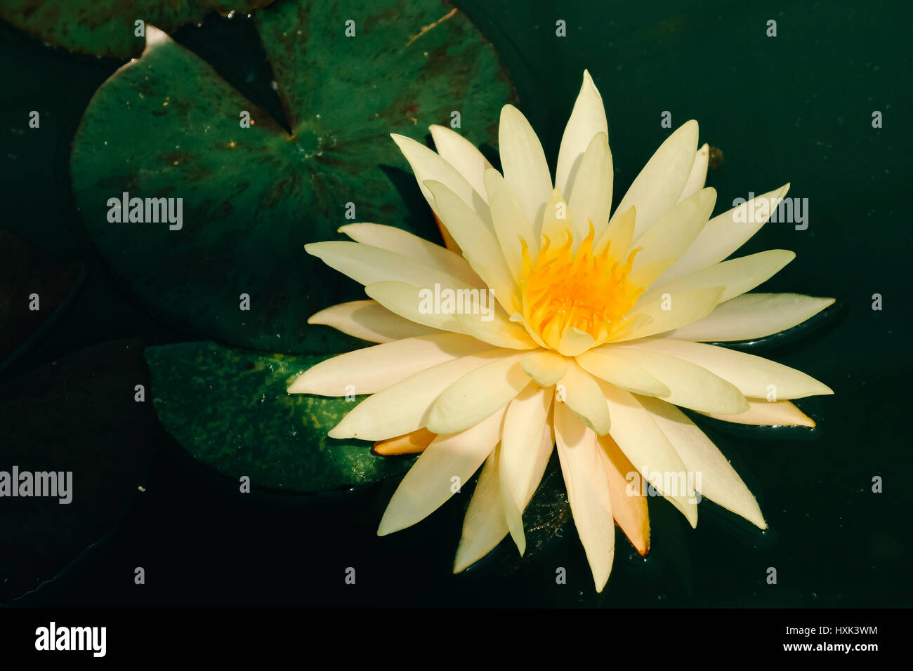 Lotus flower - Stock Image