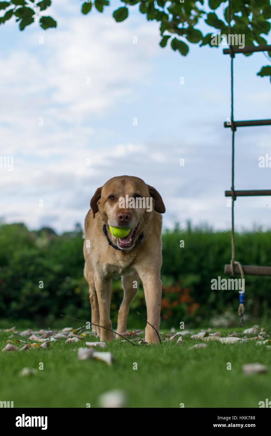 Cute labrador playing in a garden - Stock Image