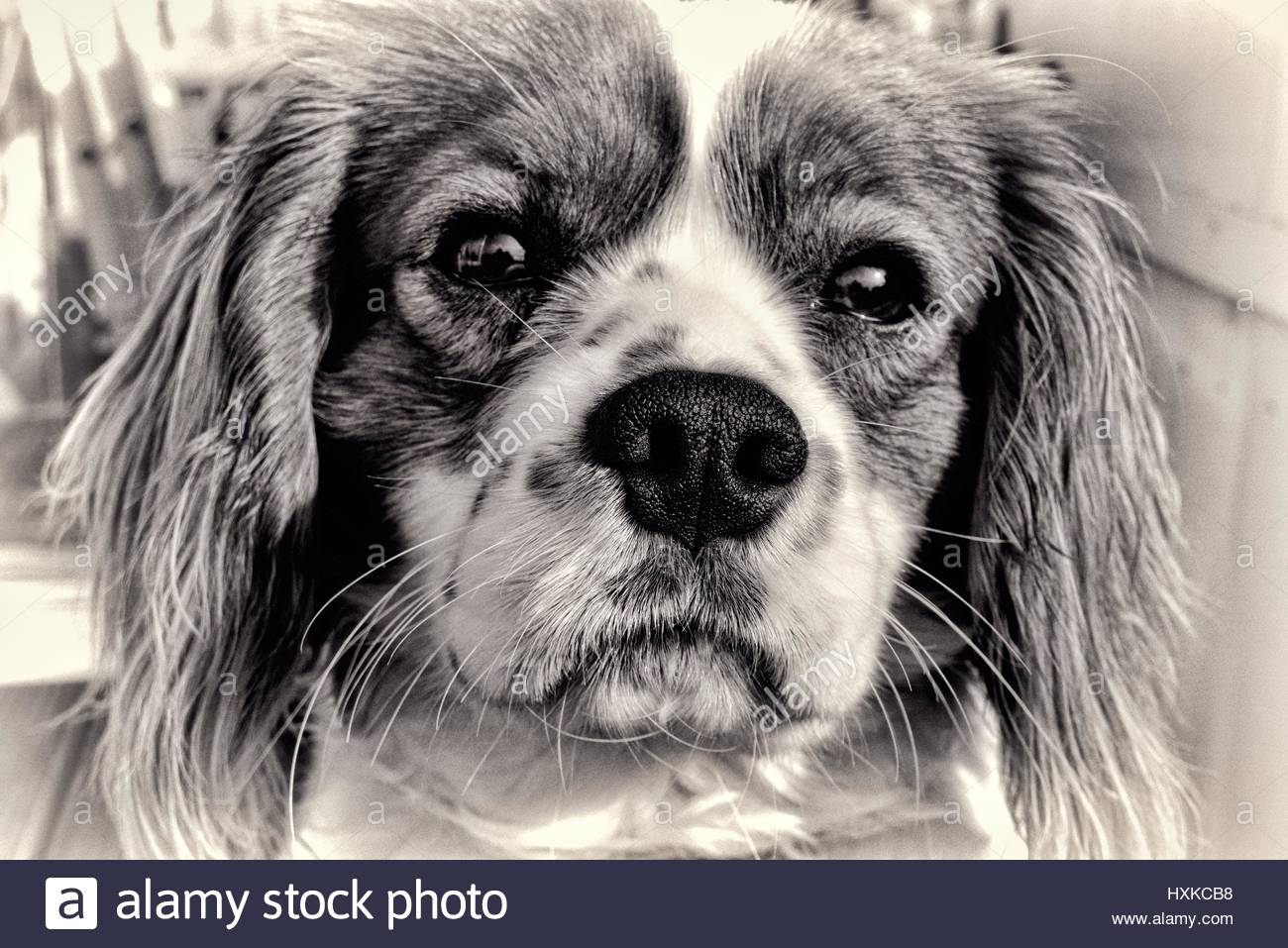 Line drawing effect Cavalier King Charles. - Stock Image