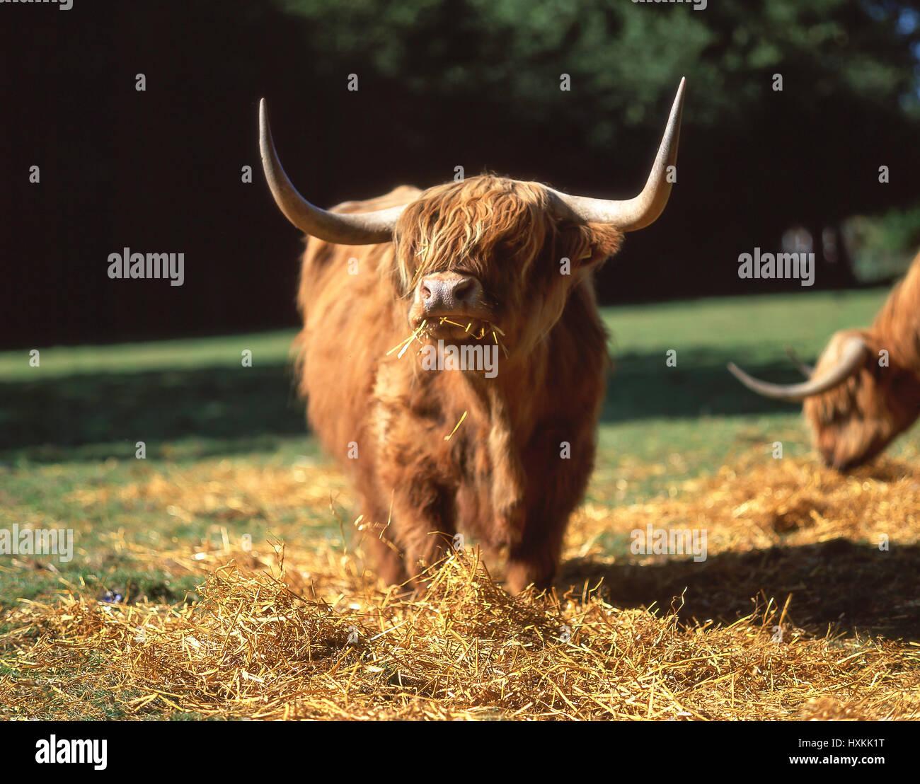 Highland cattle feeding, Highland, Scotland, United Kingdom - Stock Image
