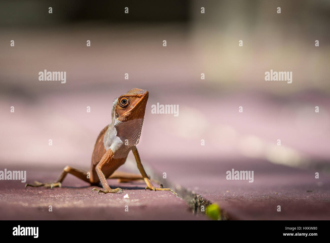 Close up of a lizard looking frooze in position at Mulu National Park, Borneo. - Stock Image