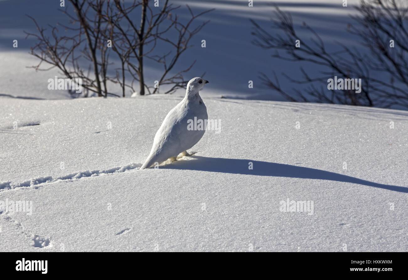 White Ptarmigan (Lagopus Muta) Bird Winter Snow Tracks in Banff National Park Canadian Rocky Mountains - Stock Image