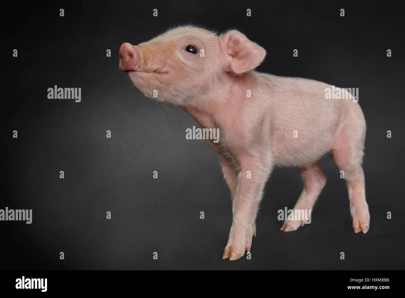Piglet - Stock Image
