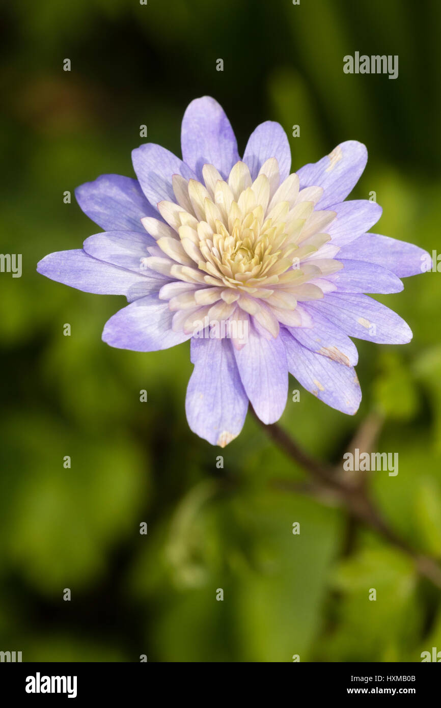 Intricately double white centred form of the blue windflower, Anemone appenina - Stock Image