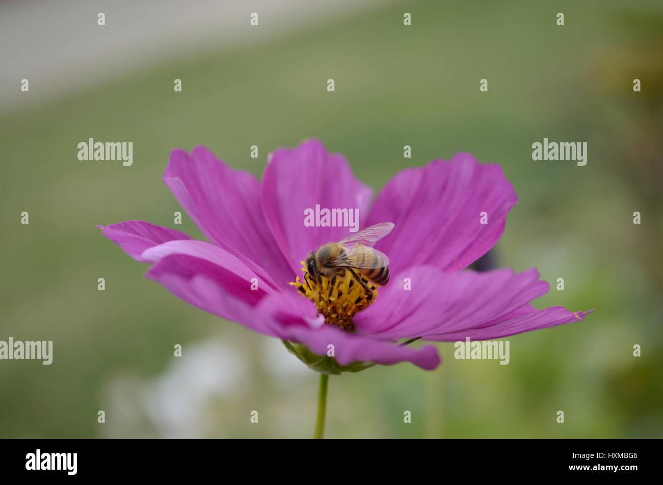 Bee on purple pink cosmos flower - Stock Image