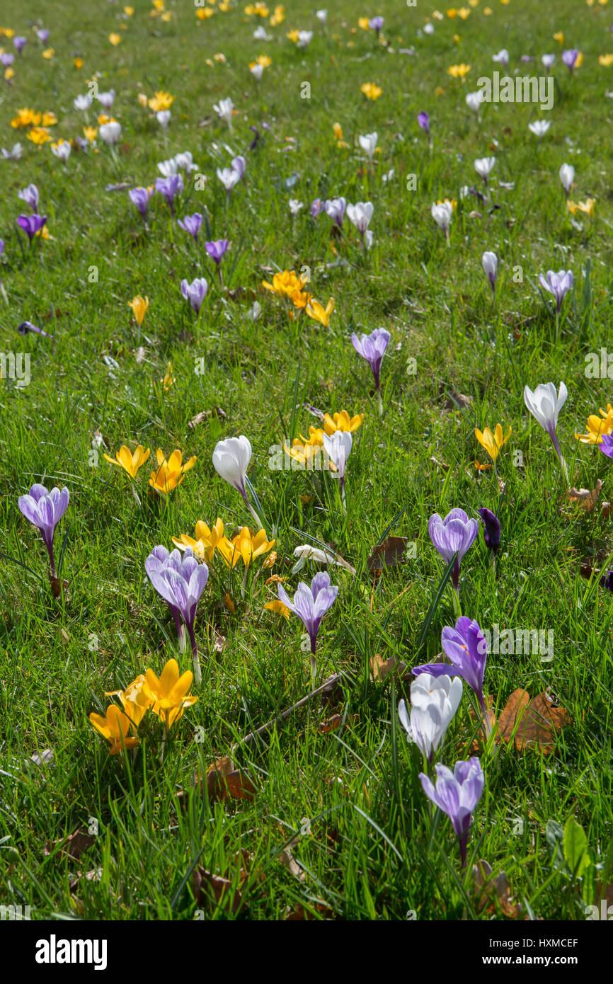 Blühende Krokus auf einer Wiese im Frühling | Flowering crocus on a meadow in spring - Stock Image