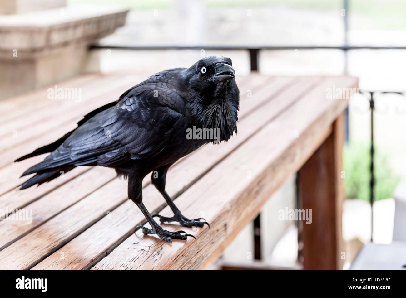 Australian Raven. Corvus coronoides, Cottesloe, Perth, Western Australia - Stock Image