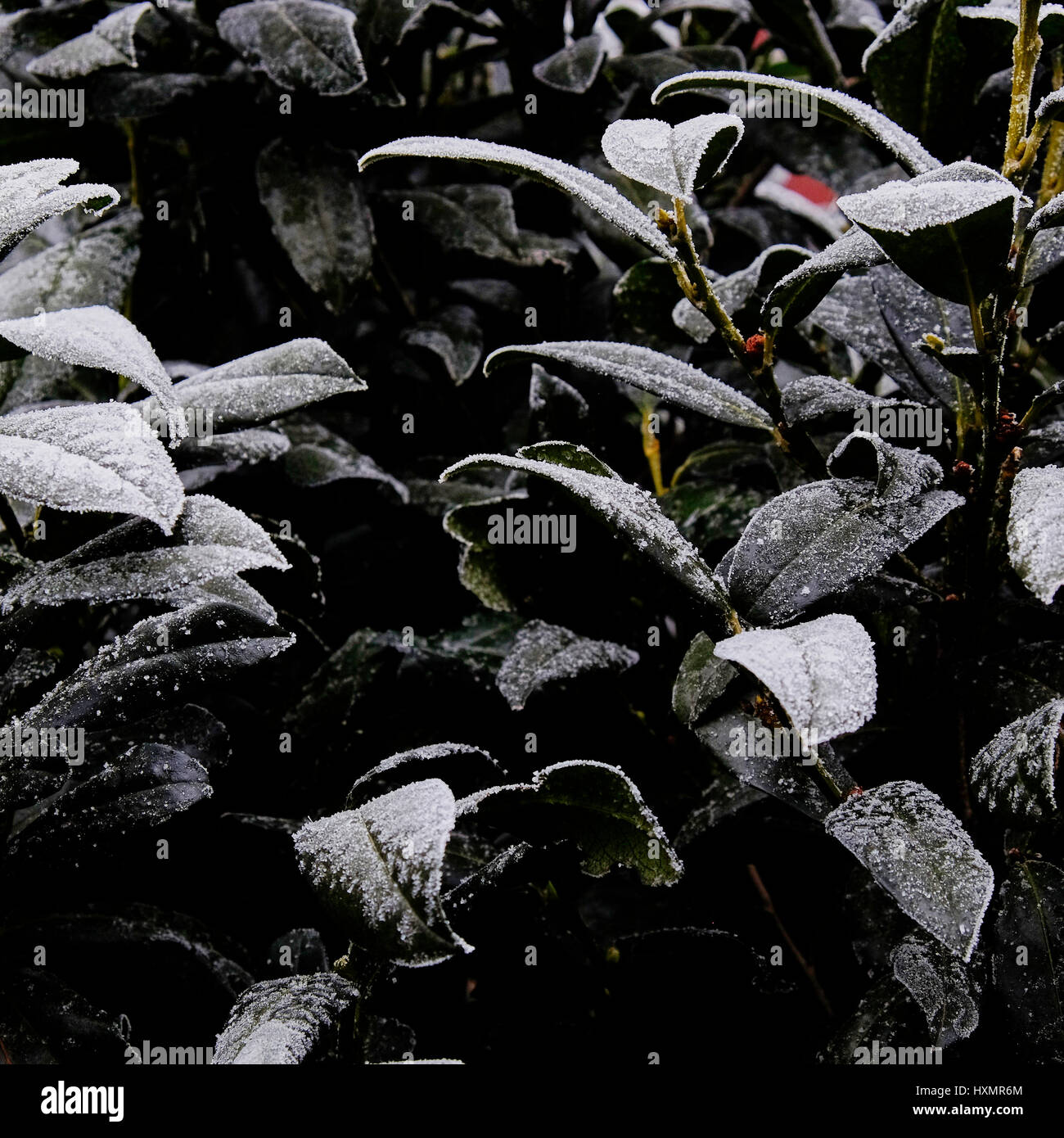 Closeup frozen evergreen foliage background Stock Photo