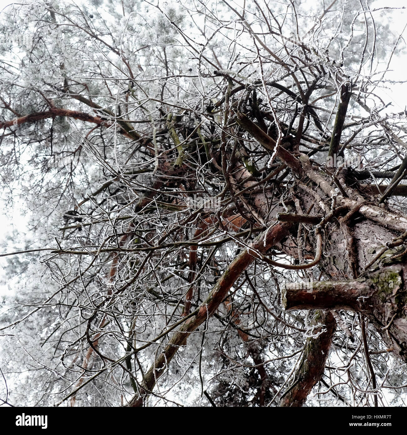 Misty snow covered cold foggy branches pine tree view from bottom Stock Photo