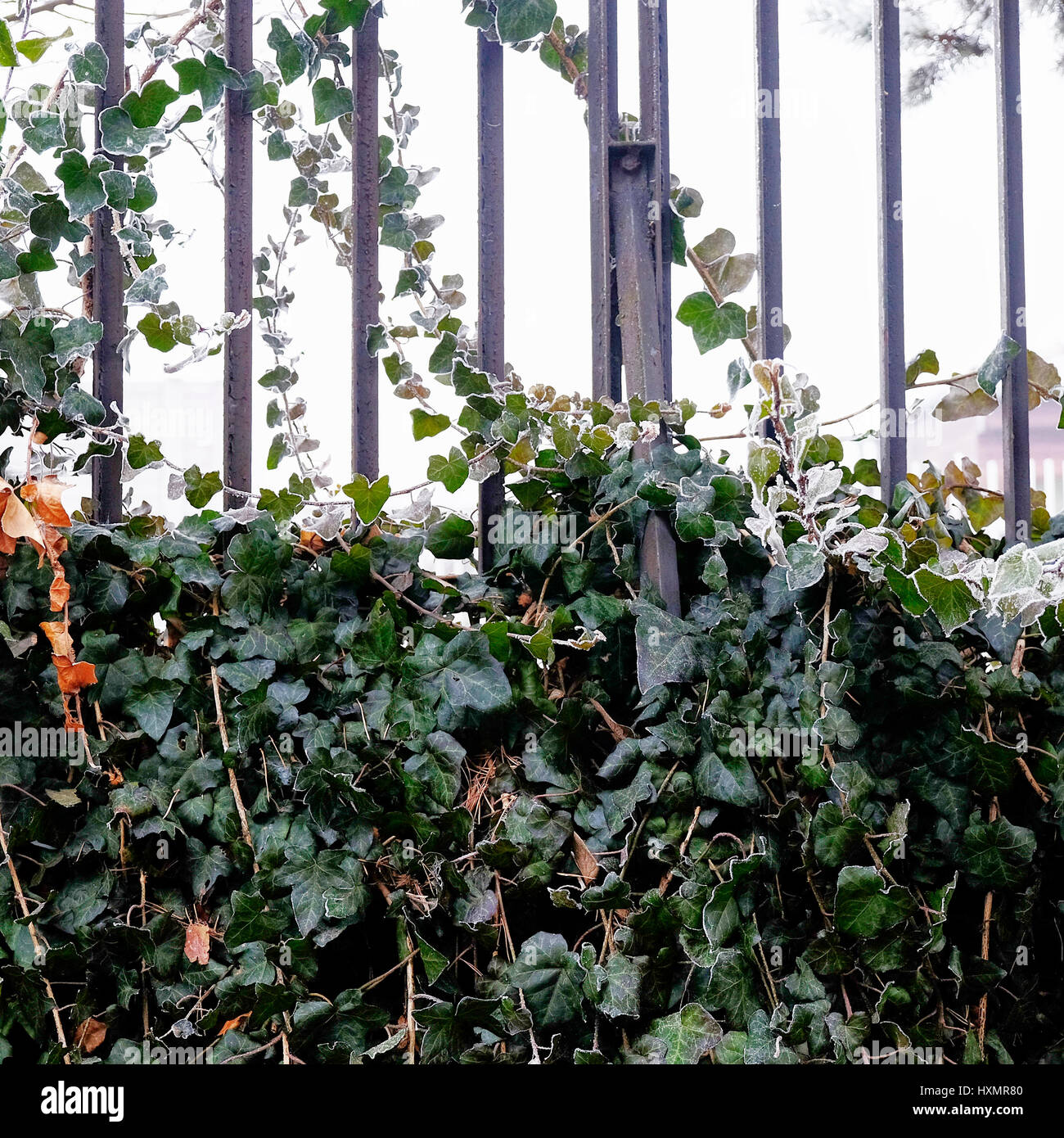 Ivy foliage winter frost metal fence Stock Photo