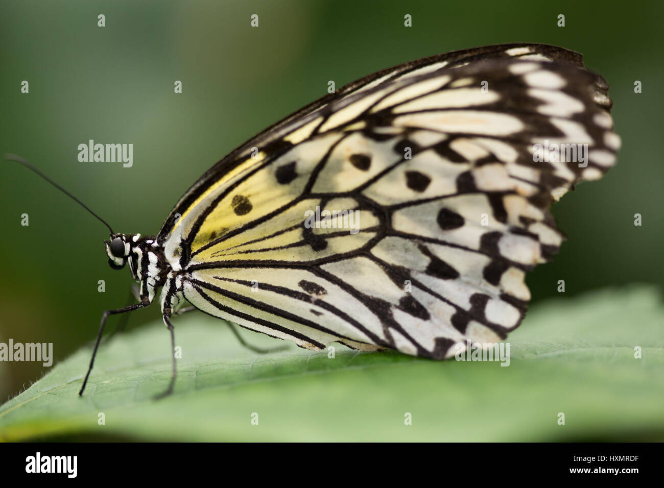 Butterfly: White Tree Nymph. Idea Leuconoe. - Stock Image