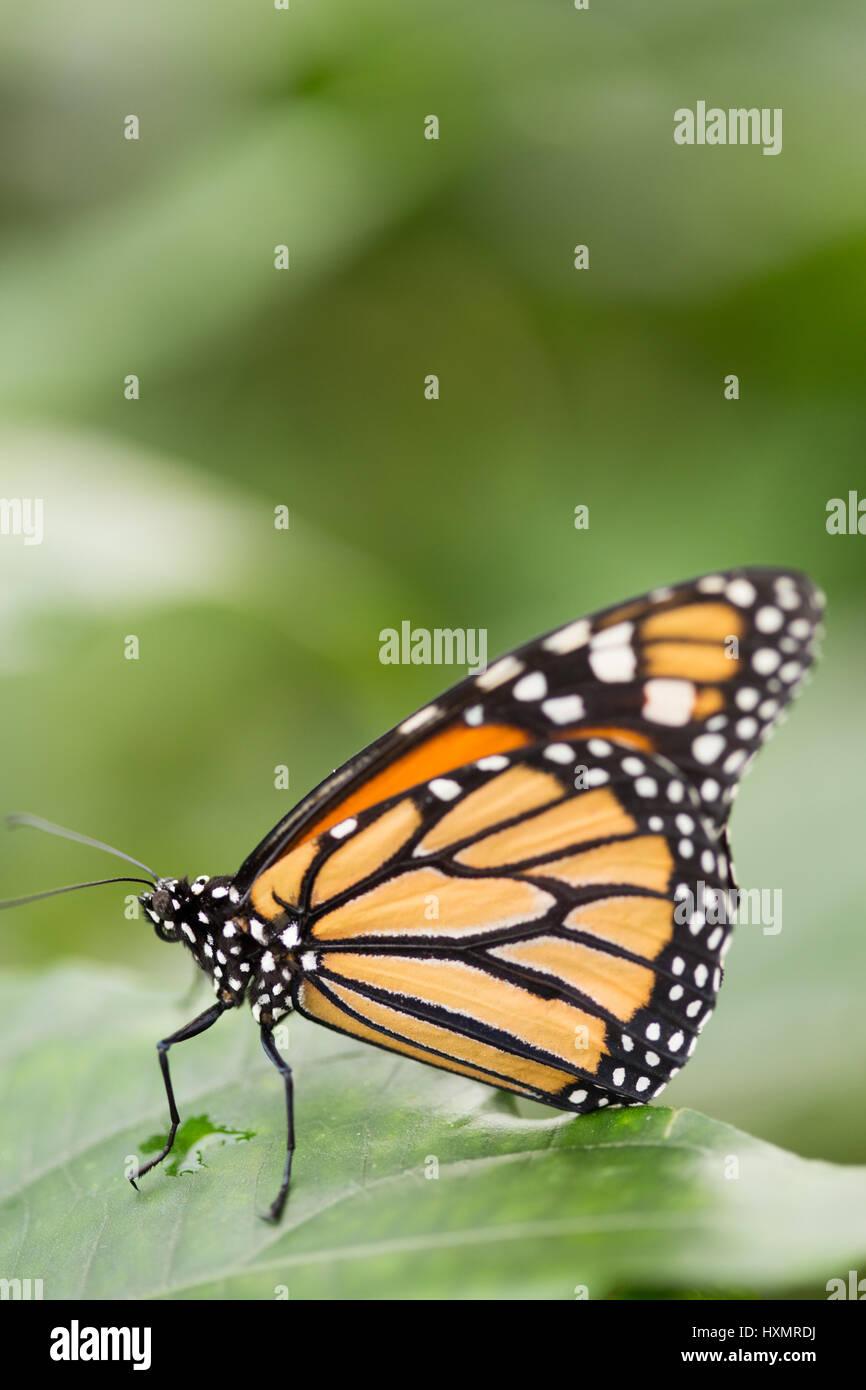 Butterfly: The Monarch. Danaus Plexippus. - Stock Image