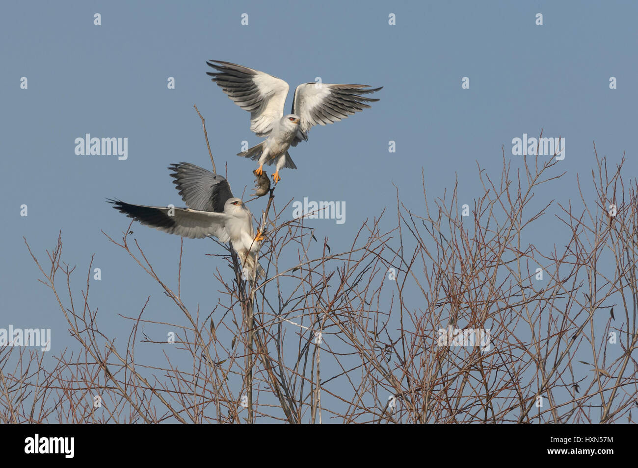 Black-shouldered kite or black-winged kite (Elanus caeruleus) adult pair engaged in food pass. Male (above) delivering Stock Photo