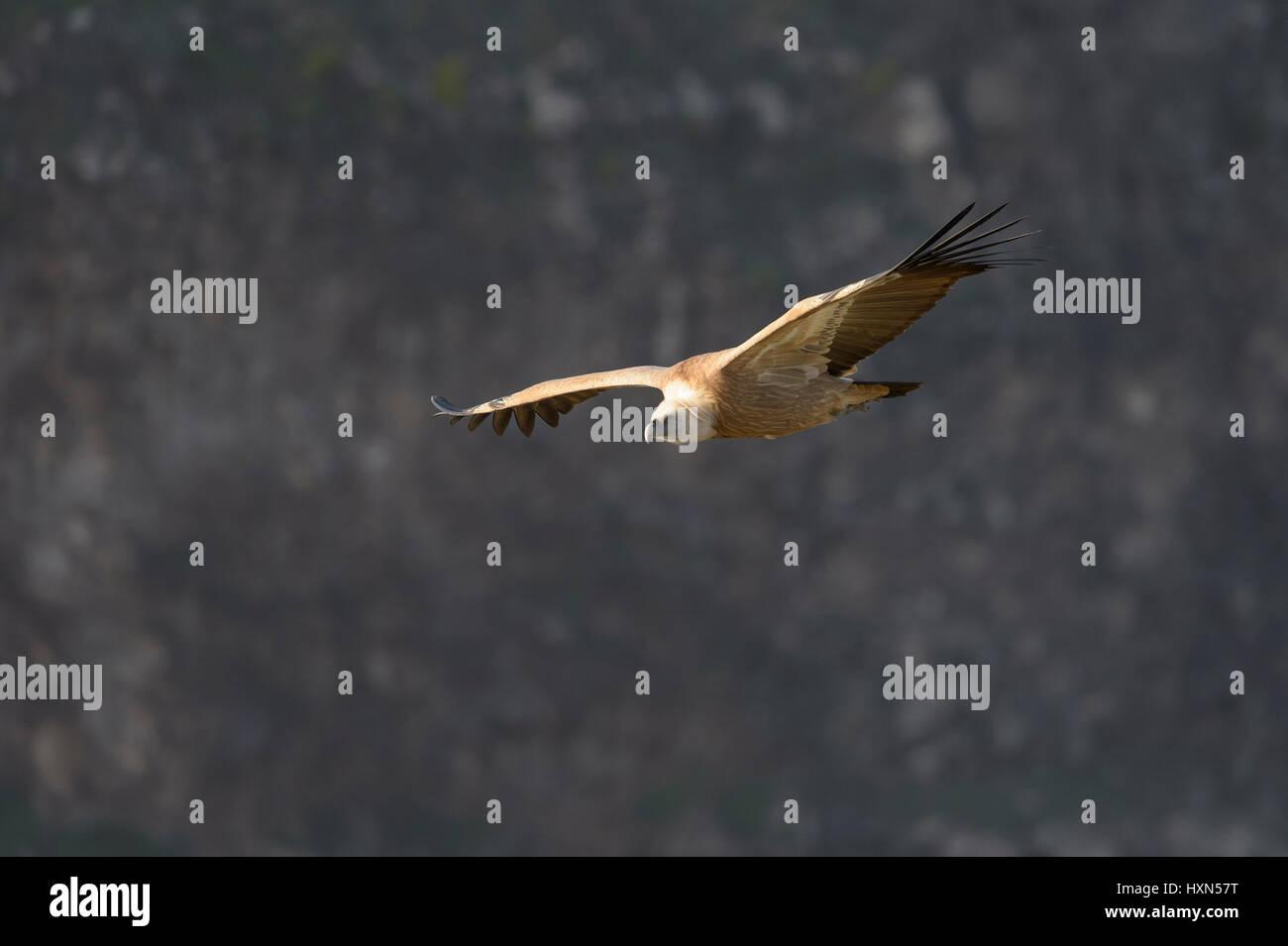 Eurasian griffon vulture (Gyps fulvus) adult in flight. Gamla, Golan Heights, Israel. January 2015. Stock Photo