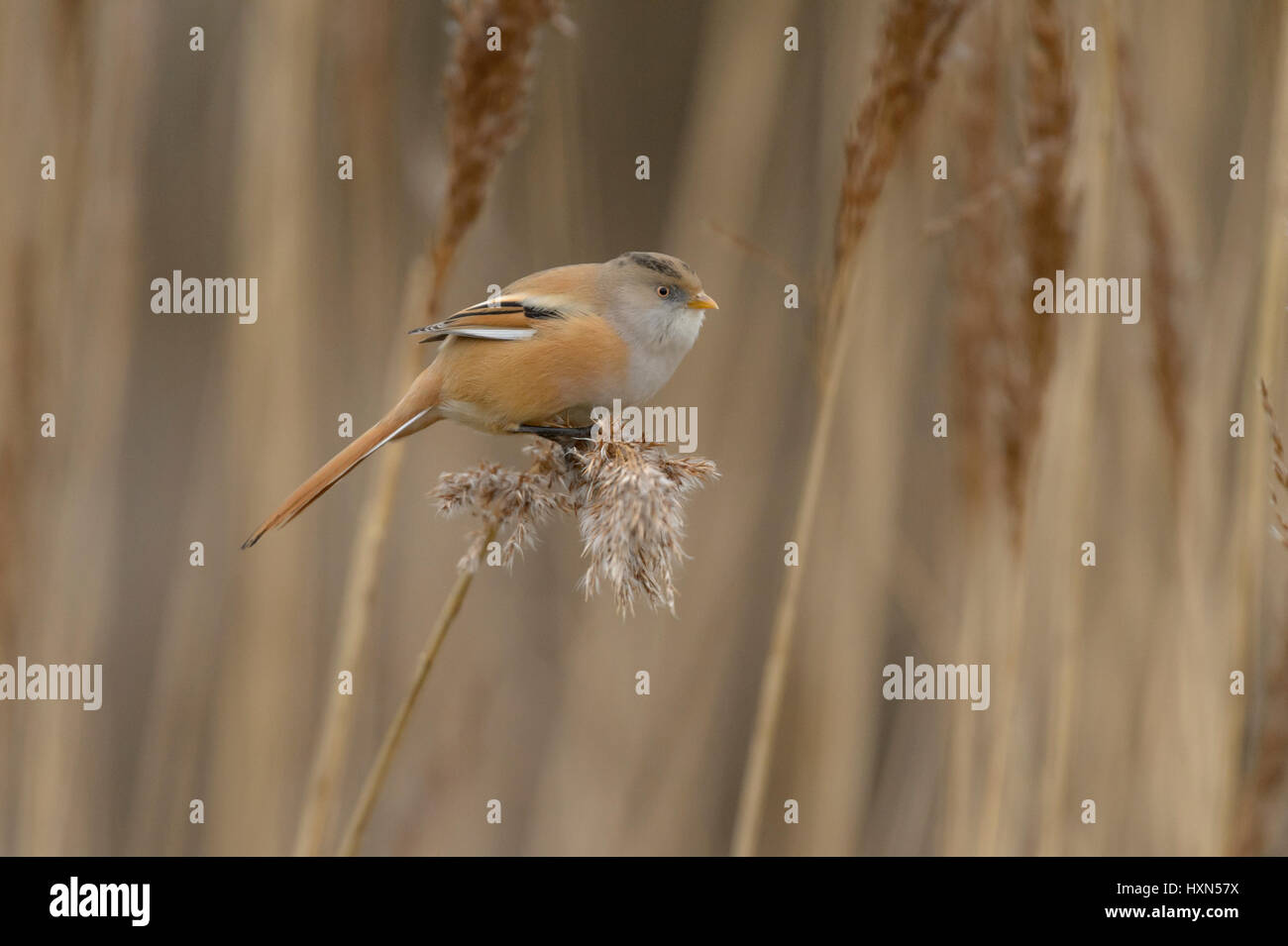 Bearded tit or bearded reedling (Panurus biarmicus) adult female feeding on seedhead of common reed. Norfolk, England. Stock Photo