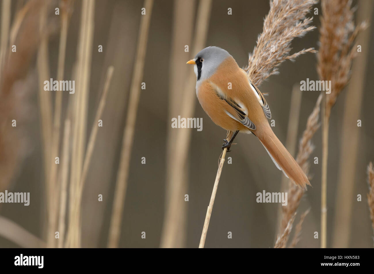 Bearded tit or bearded reedling (Panurus biarmicus) adult male in reedbed. Norfolk, England. February. Stock Photo