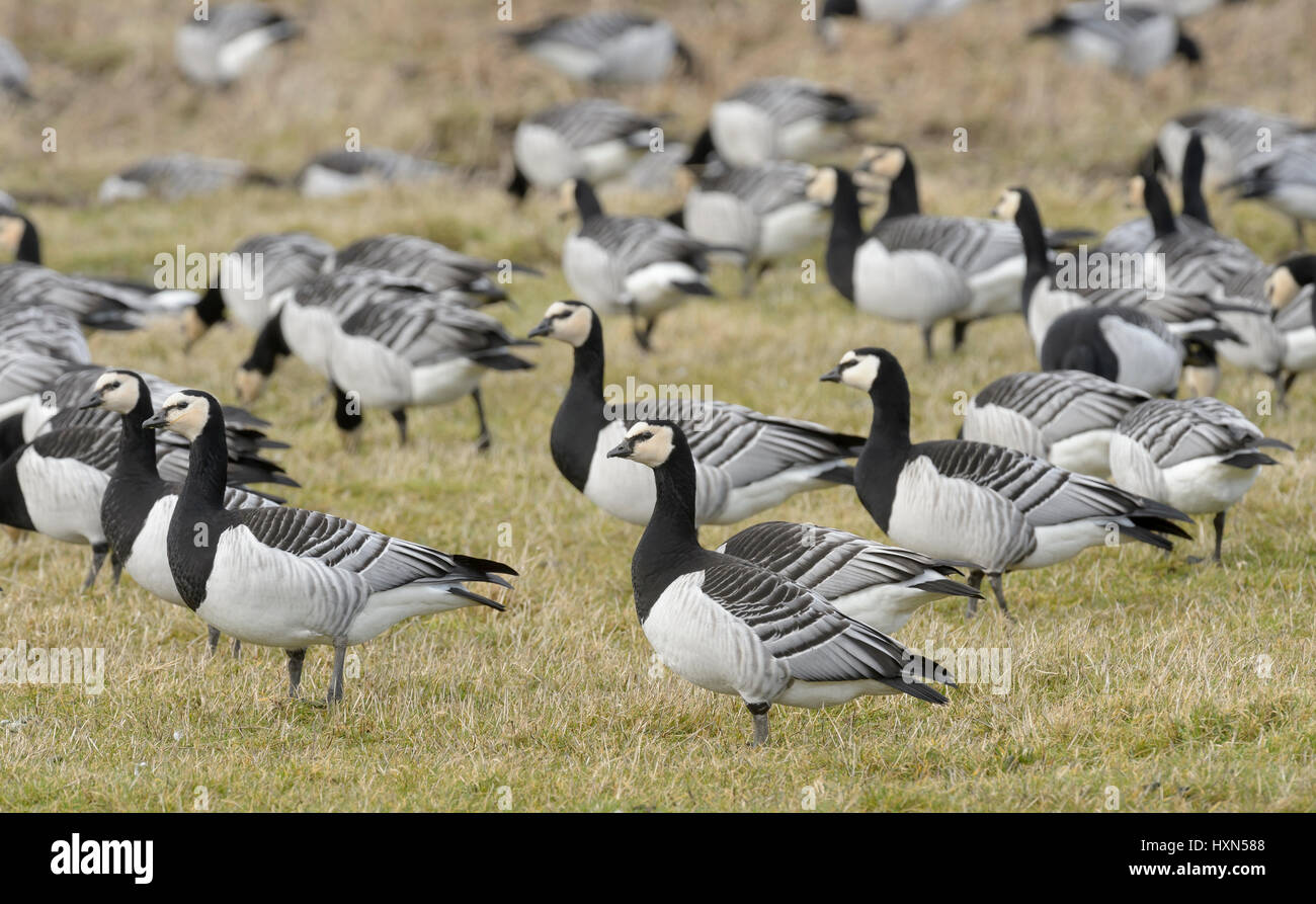 Flock of barnacle geese (Branta leucopsis) grazing in pasture. Dumfries & Galloway, Scotland. February. Stock Photo