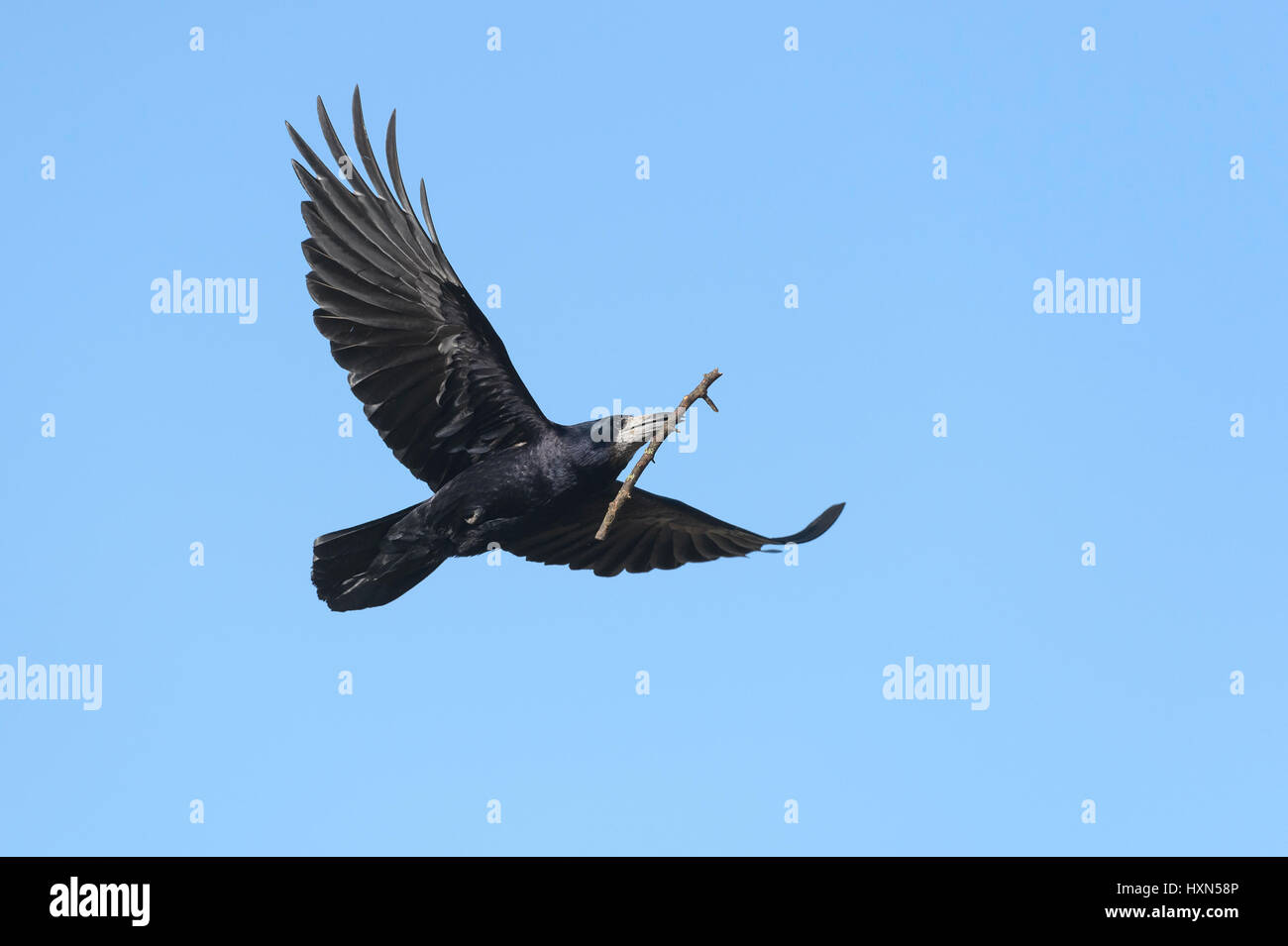 Rook (Corvus frugilegus) adult in flight carrying nest material. Gloucestershire. March. Stock Photo