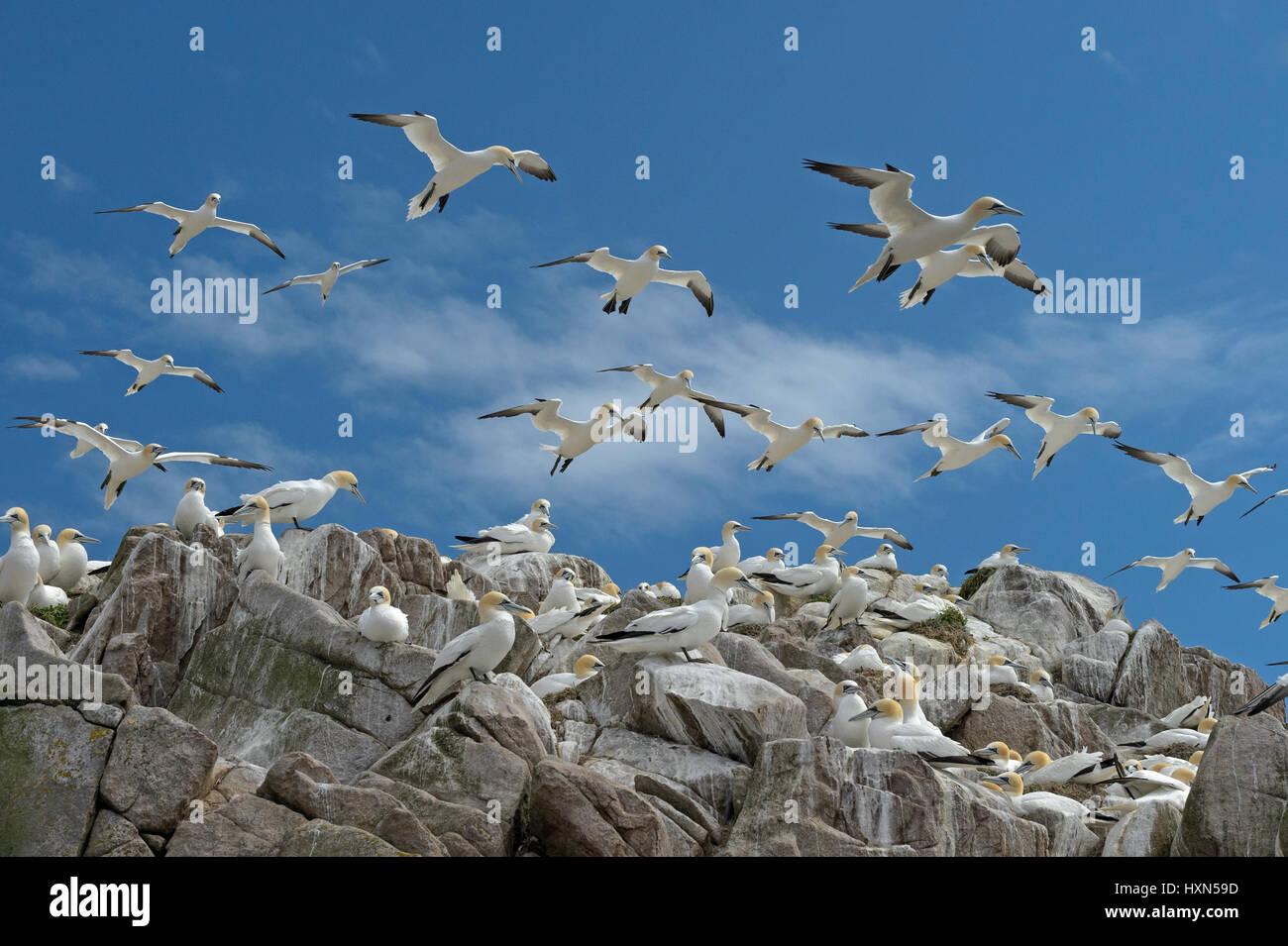 Flock of northern gannets( Morus bassanus) at nesting colony. Great Saltee island, co Wexford, Ireland. April. Stock Photo