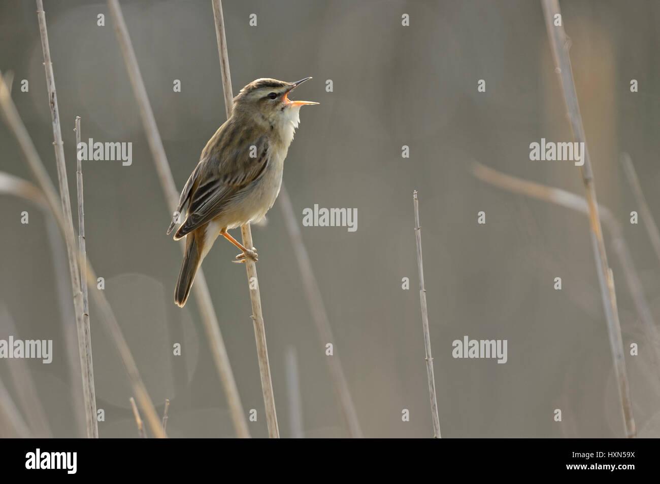 Sedge warbler (Acrocephalus schoenobaenus) singing in reedbed. Norfolk, England. May. Stock Photo