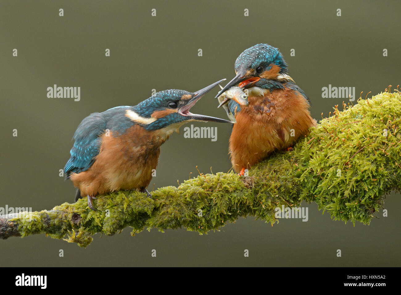 Common kingfisher (Alcedo atthis) adult male feeding minnow to recently fledged juvenile. Worcestershire, England. Stock Photo