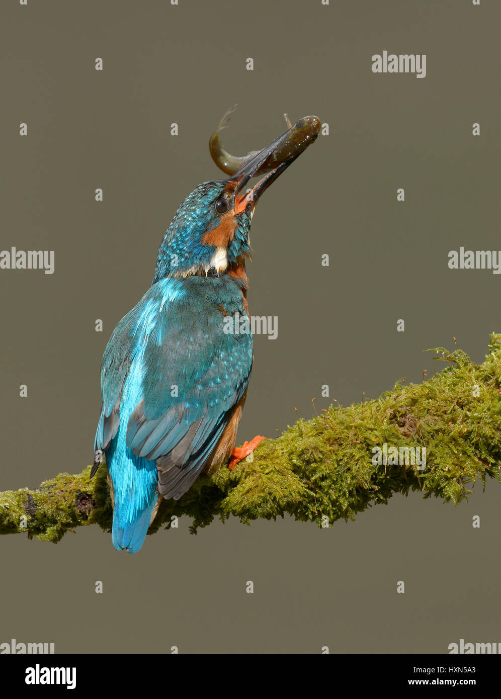 Common kingfisher (Alcedo atthis) adult male with fish prey. Worcestershire, England. May. Stock Photo
