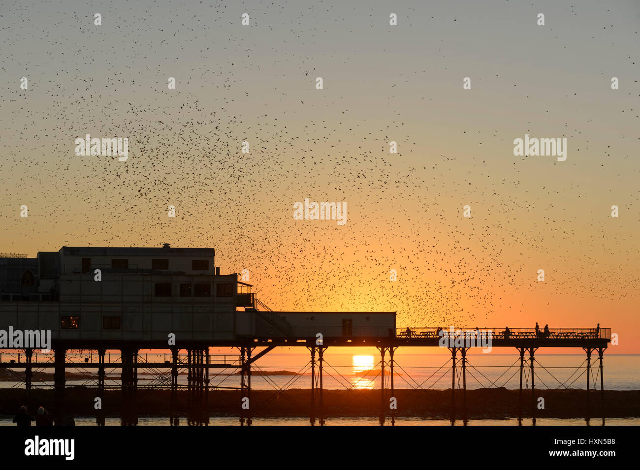 Flock of common starlings (Sturnus vulgaris) flying to roost at sunset, at Aberystwyth pier, Wales. November 2015. - Stock Image