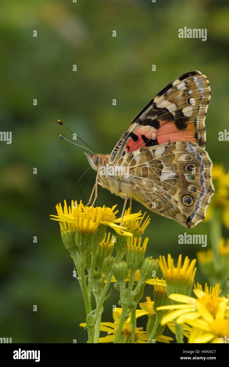 Painted lady butterfly (Cynthia cardui) on ragwort flowers (Senecio jacobea). Essex, England. July. Stock Photo