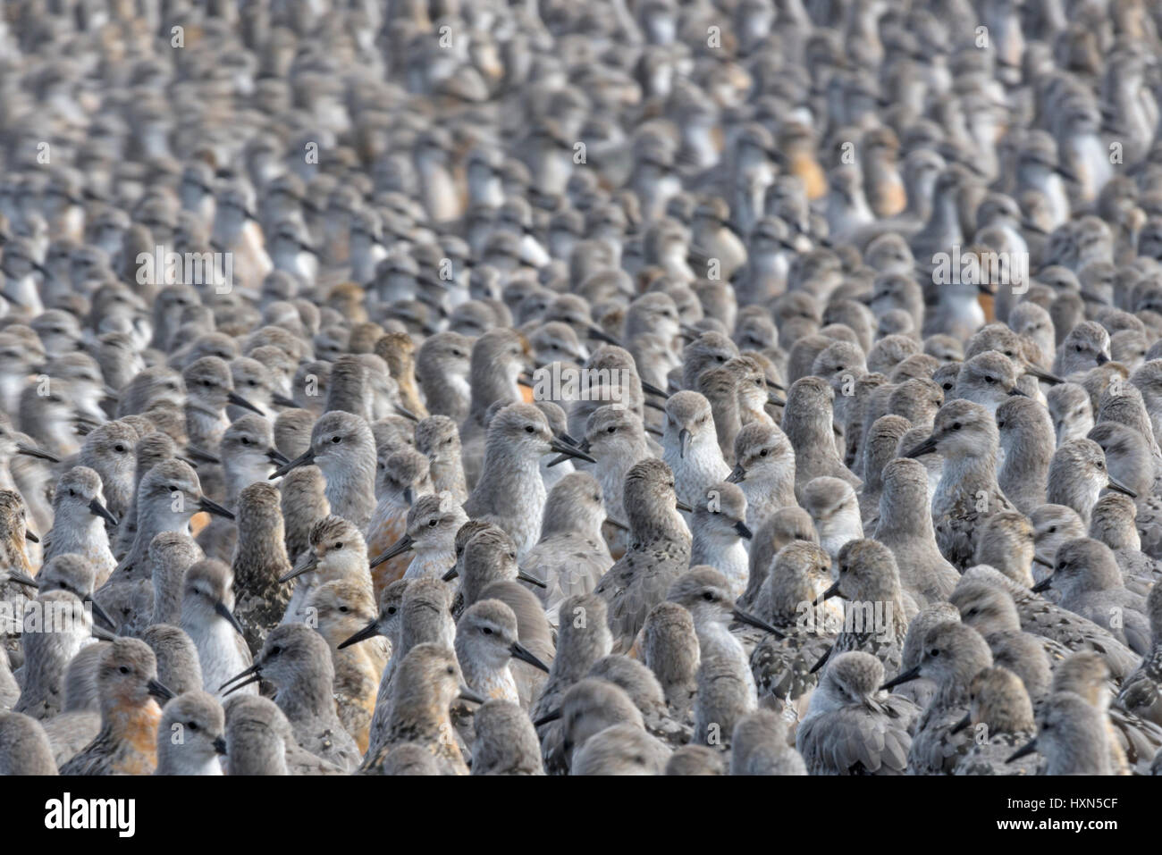 Flock of red knot (Calidris canutus) at high tide roost. Snettisham RSPB reserve, Norfolk, England. September. Stock Photo