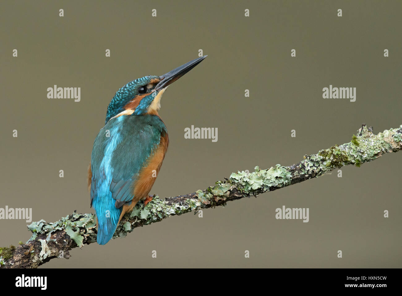 Common kingfisher (Alcedo atthis) adult female. Worcestershire, England. September. Stock Photo